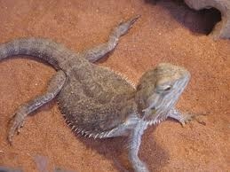 How hard is it to take care of a Bearded Dragon?