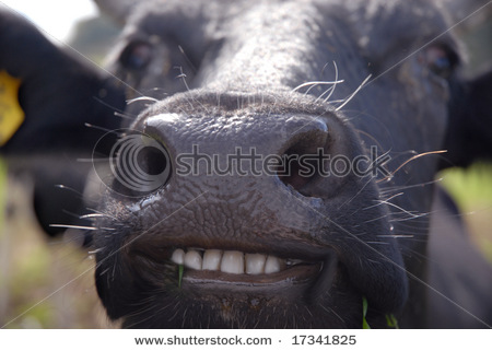 Funny cow smiling - photo#3