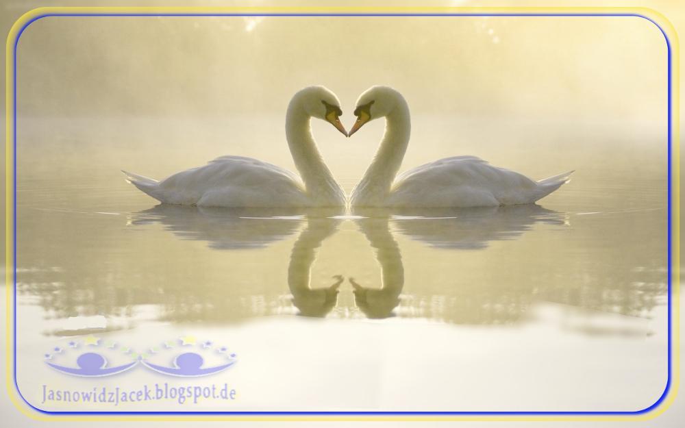 Piękne dwa Łabędzie - dotyk dziubkami - symbol miłości