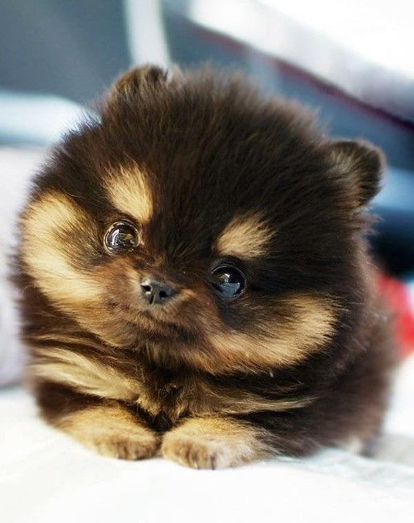 Cute Dogs: Pomeranian Teacup Puppies