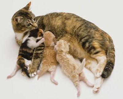 Mèo đang nuôi con.