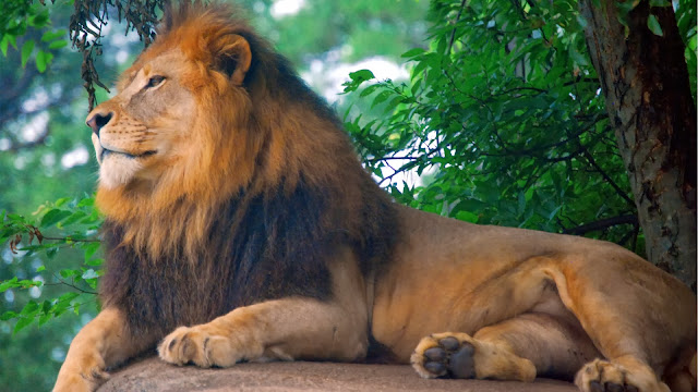 Lion King of Zoo HD Wallpaper