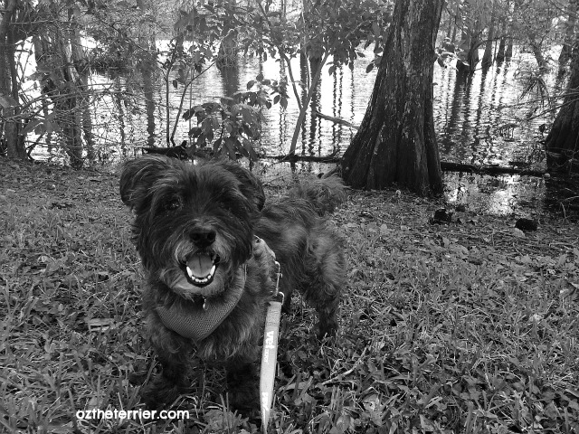 Oz the Terrier on the hunt for adventure in his local Cypress swamp