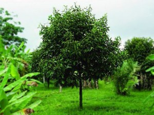 árbol del mangostán