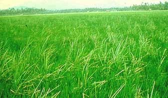 Gigih Bertani Aplikasi Ga3 Pada Tanaman Padi