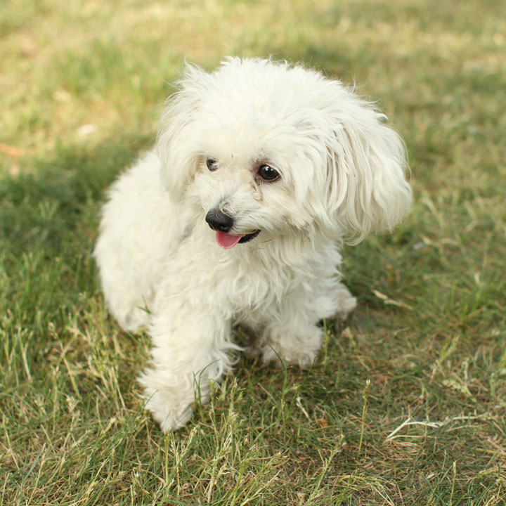 Unnamed Maltese Toy Poodle mix