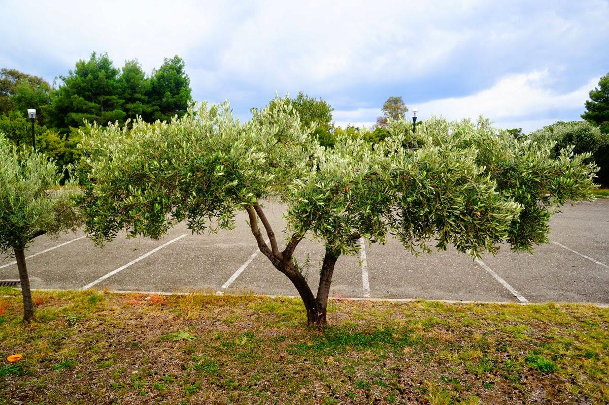 Олива-Дерево