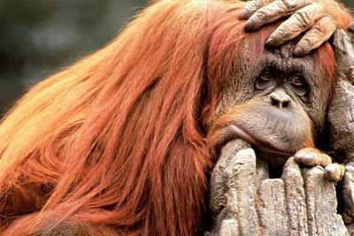 mono pensativo, cara aburrida, cara avurrida