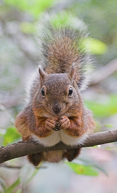 do squirrels remember where they bury Til that squirrels plant thousands of trees per year simply by forgetting squirrels do not have a mental map that helps them remember where they bury their.