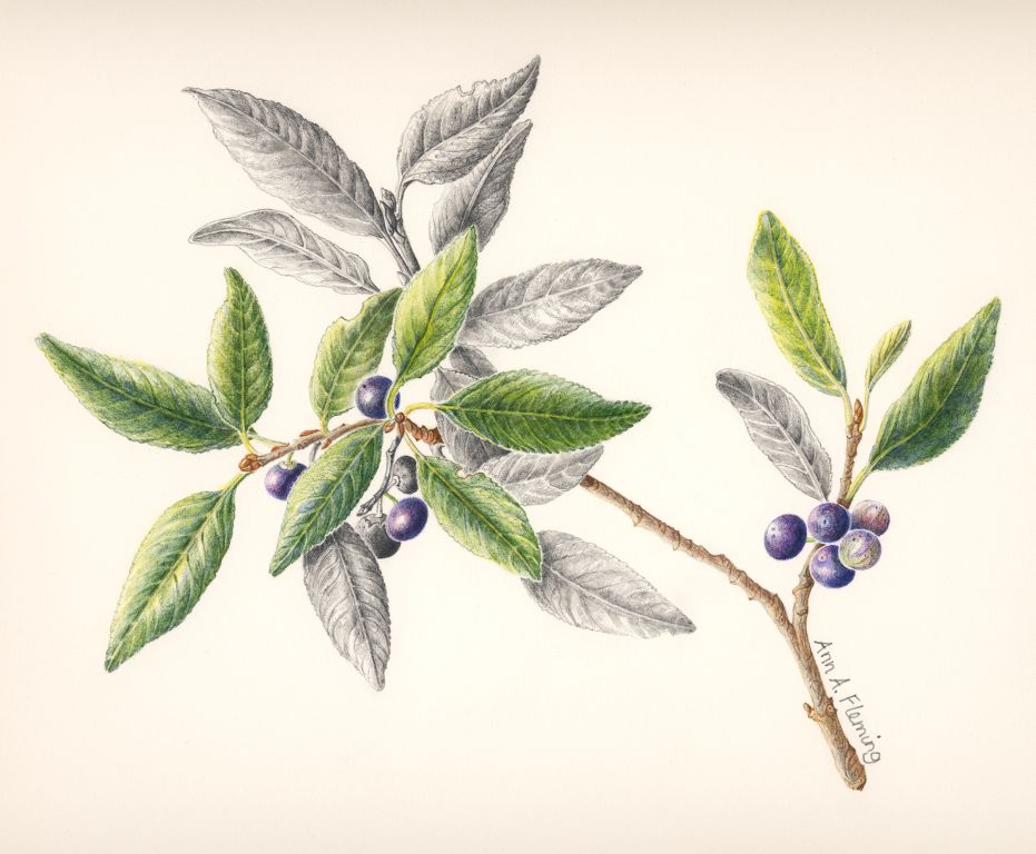 Evoloution the art botanical illustration
