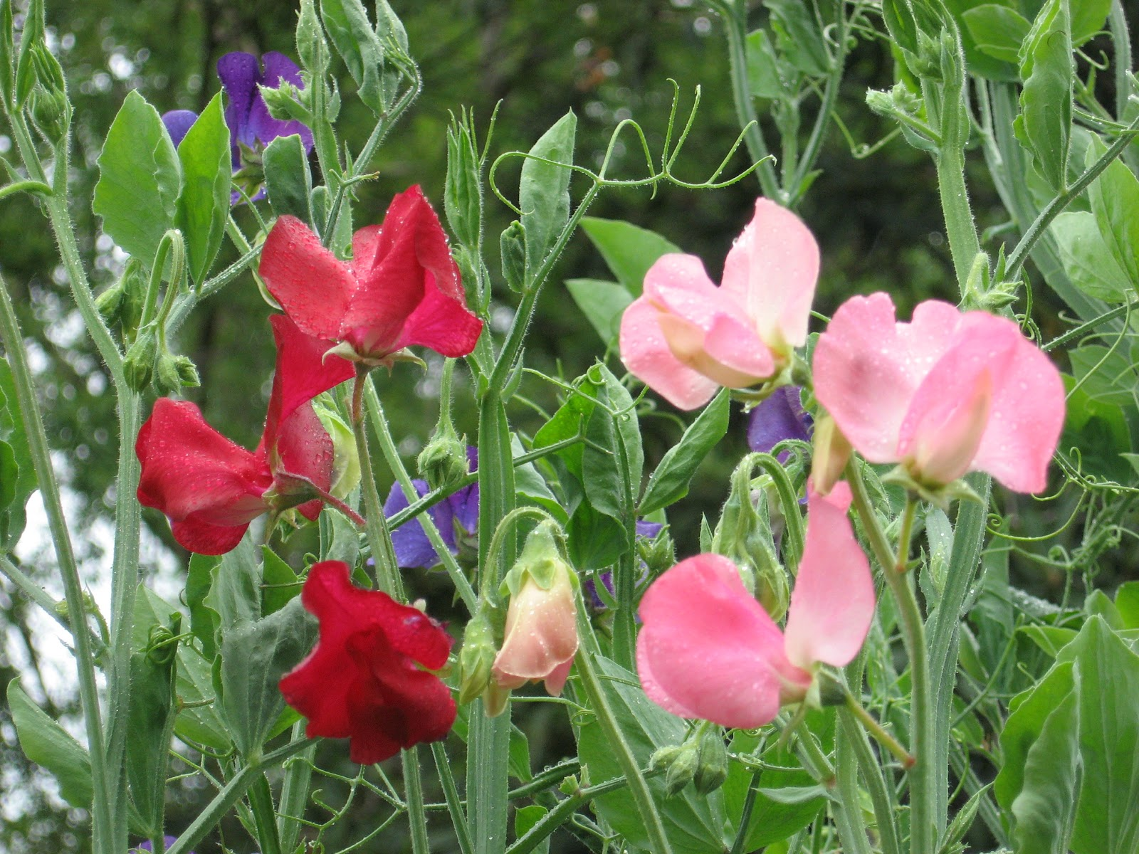 Garden Thymes Heavenly sweet peas