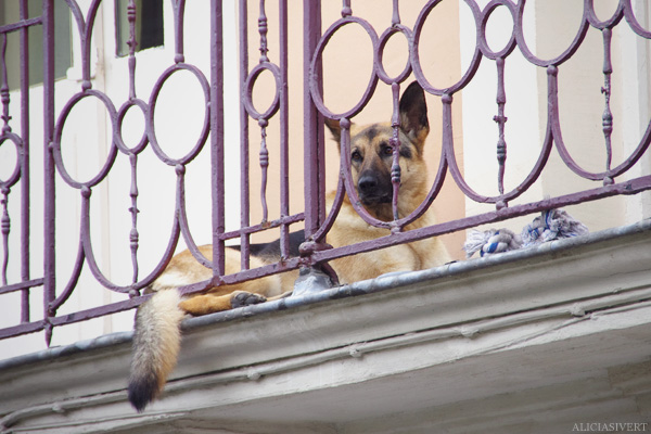 aliciasivert, alicia sivertsson, rouen, france, frankrike, balcony dog, balkong, hund, balkonghund, schäfer