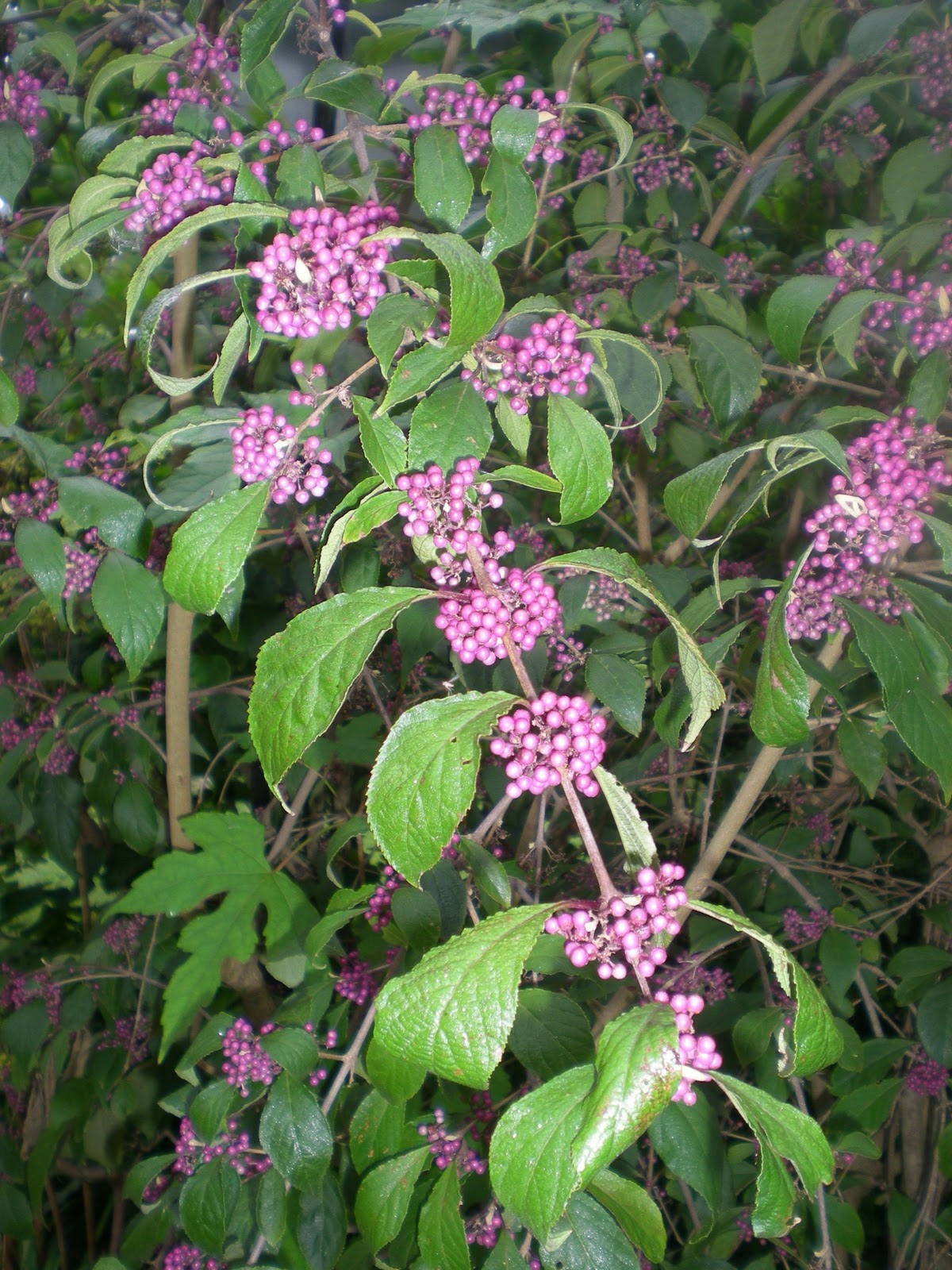 Jarvis House Deep Purple Flowering Shrubs in September at the Jarvis Garden