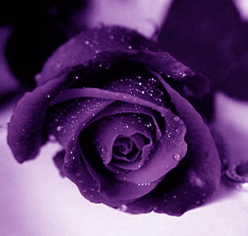 black and purple roses