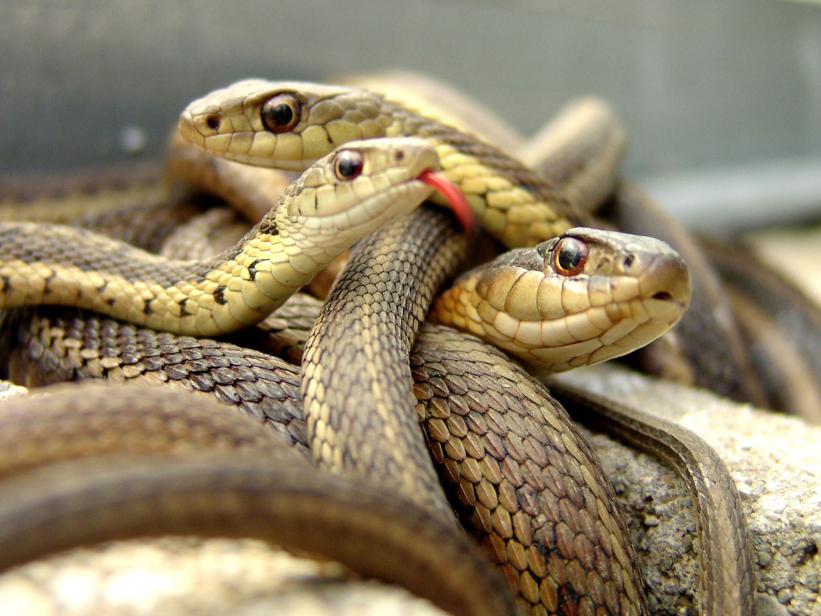 http://3.bp.blogspot.com/-wNdsb_q788c/T4YeyAECqUI/AAAAAAAAjW4/pDXaTiCbk6c/s1600/The-best-top-desktop-snake-wallpapers-hd-snakes-wallpaper-12-three-snakes.jpg