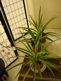 My Pineapple Plantation