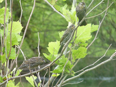 juvenile red-winged blackbirds with mother