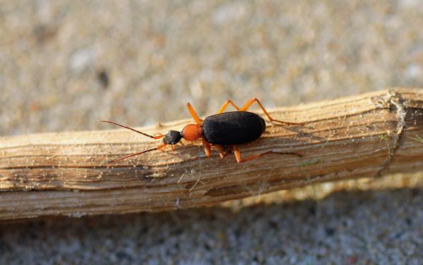 Bombardier beetle defense - photo#5