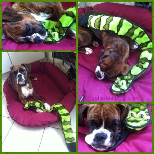 Boxer Amy und ihre Schlange