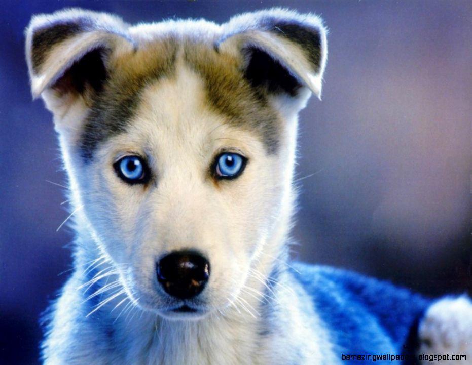 Really Cute Baby Husky Puppies | Amazing Wallpapers