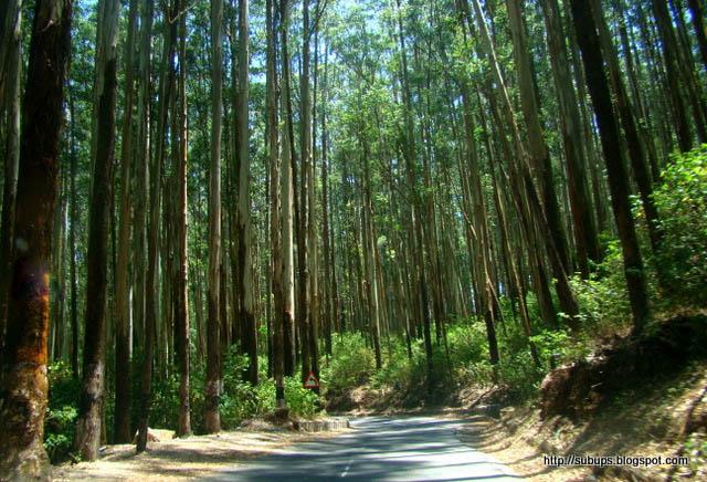 pine trees ooty