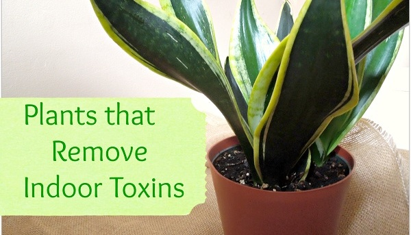 indoor-plants-that-clean-the-air-and-remove-toxins