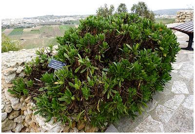 flor centaura maltesa Cheirolophus crassifolius