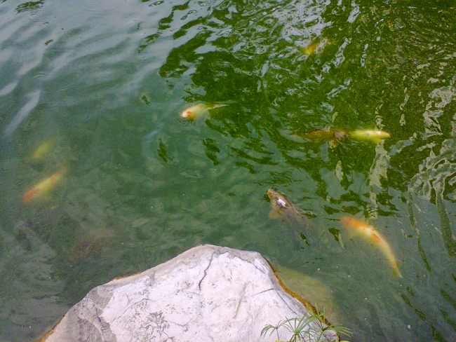 Damansara Uptown secret garden koi fishes 2