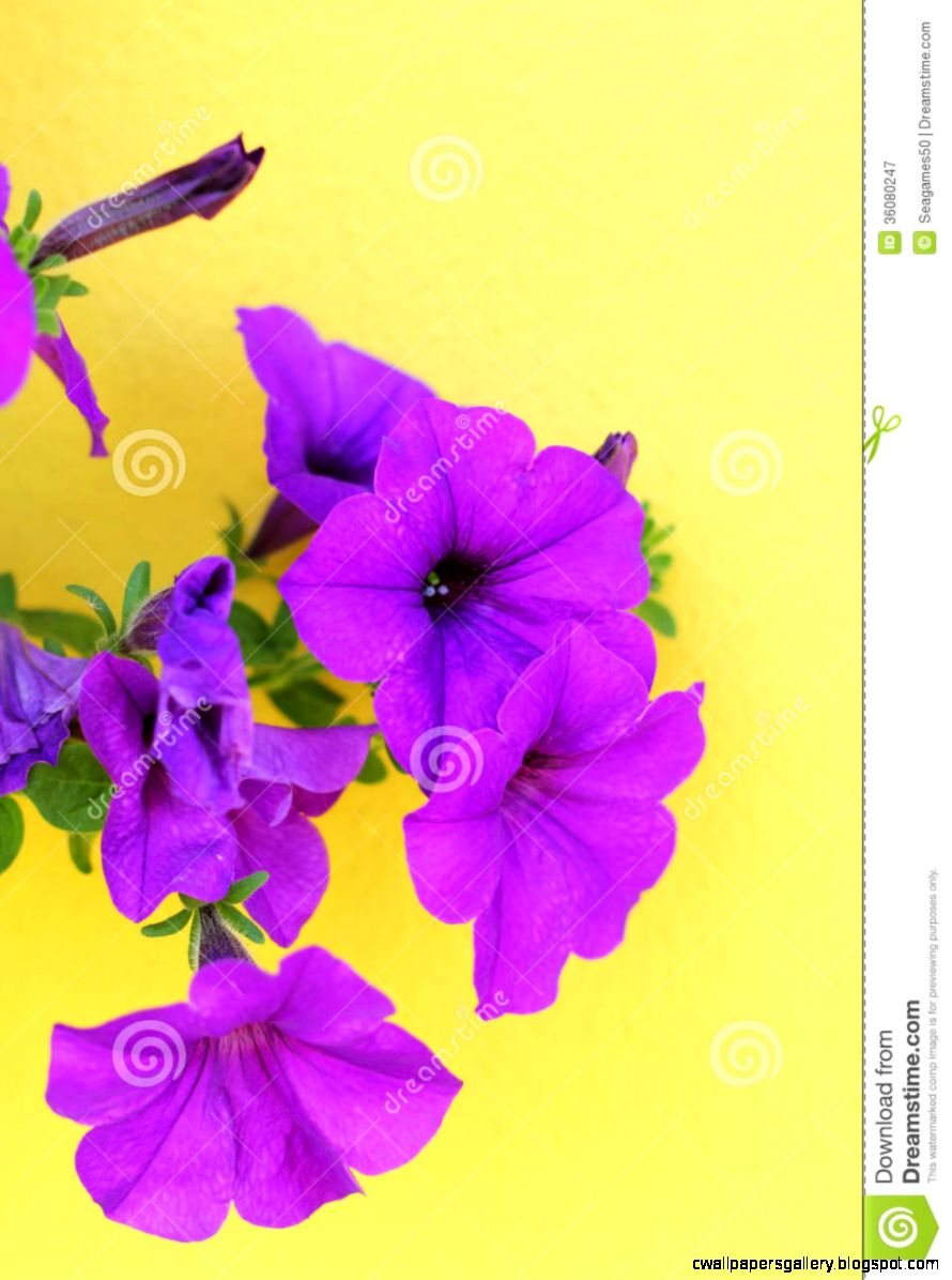 Beautiful Purple Flowers On A Yellow Background Royalty Free