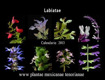 Calendario de Familias Botánicas: Labiatae 2013