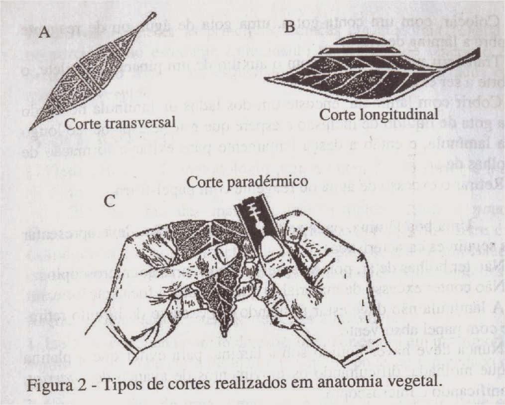 Asteraceae: Técnicas no preparo de materiais para anatomia vegetal.