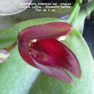Acianthera saundersiana variedade 1 do blogdabeteorquideas