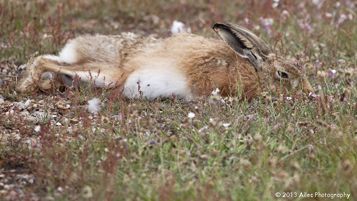 photograph-05-of-laid-back-hare.jpg