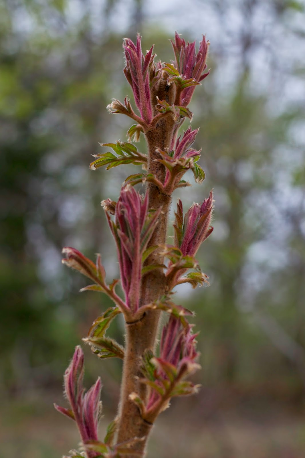 Staghorn sumac starting to leaf out.