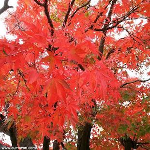 Árbol con hojas rojas en otoño