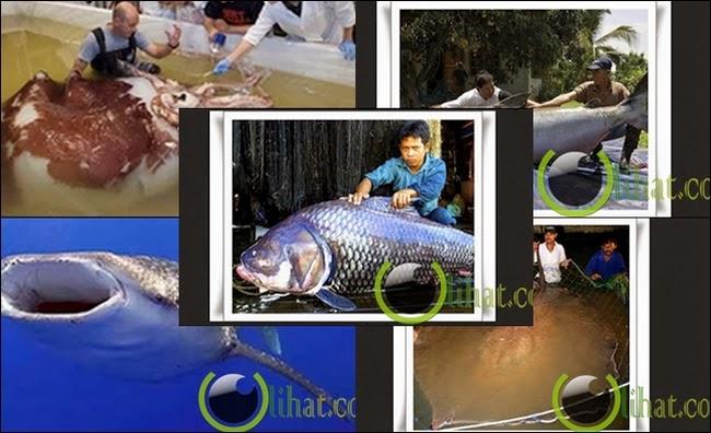 7 Binatang Laut Terbesar yang pernah di Tangkap Manusia