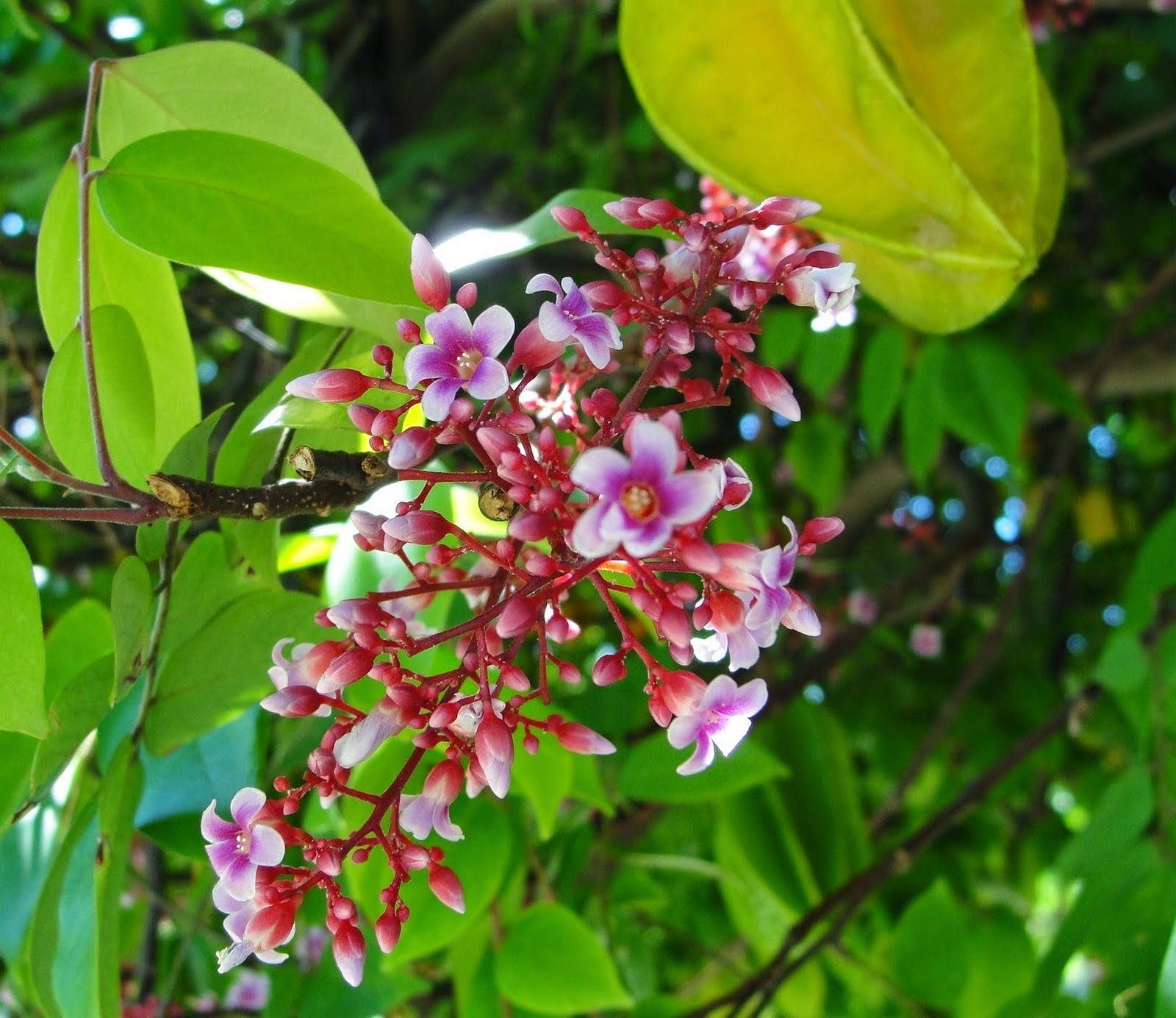 Star Fruit (Averrhoa Carambola) Overview, Health Benefits, Side effects