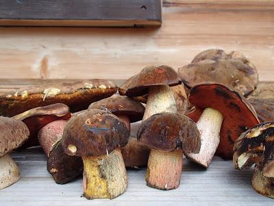 Orawa, Lipnica Wielka, Babia Góra, grzyby sierpniowe, grzybobranie na Orawie, borowik ceglastopory, Boletus luridoformis
