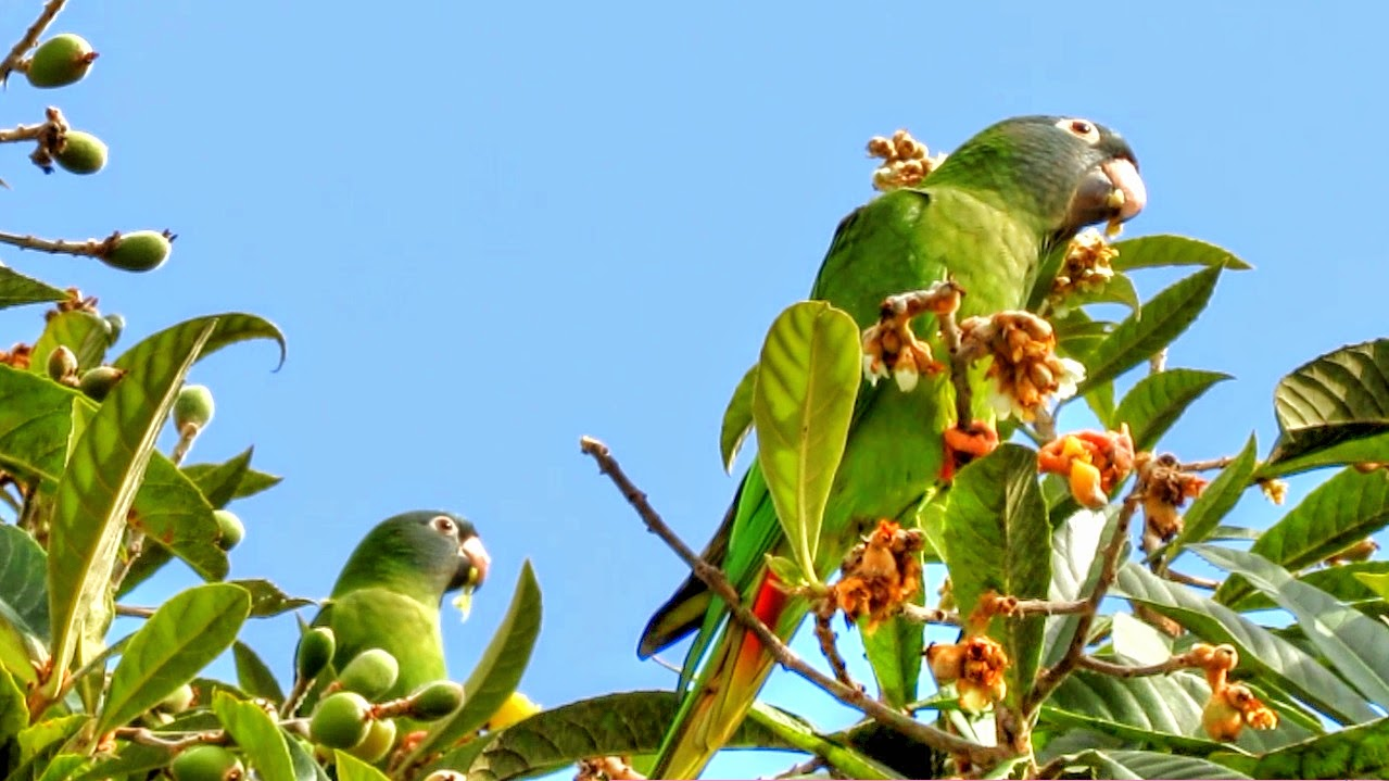 Wild Blue Crowned Conures in Central Florida