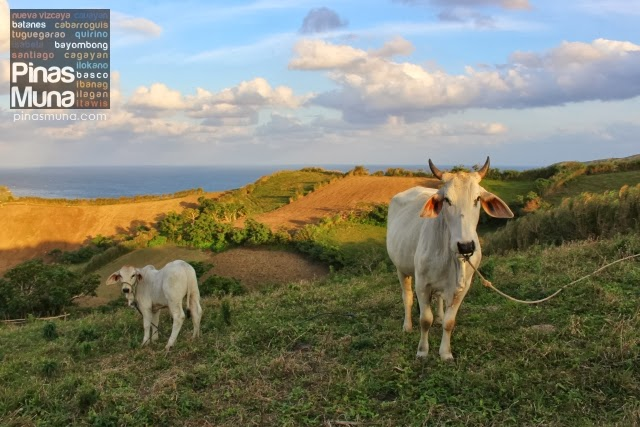 cows grazing pastures in Batanes