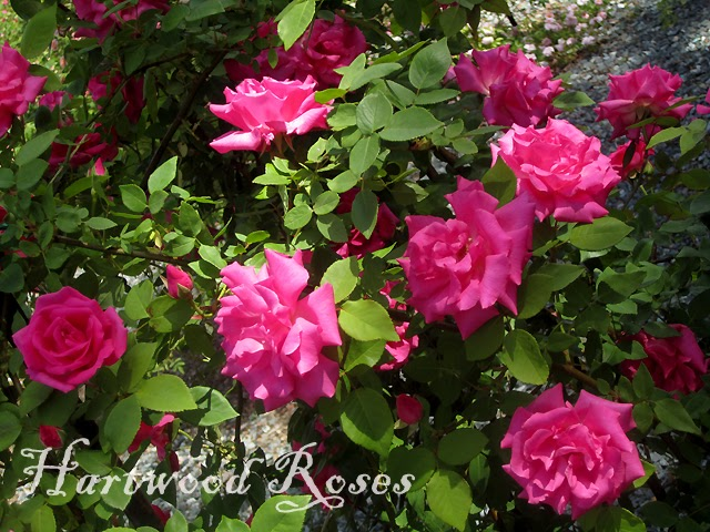 hartwood roses pruning a climbing rose starring. Black Bedroom Furniture Sets. Home Design Ideas