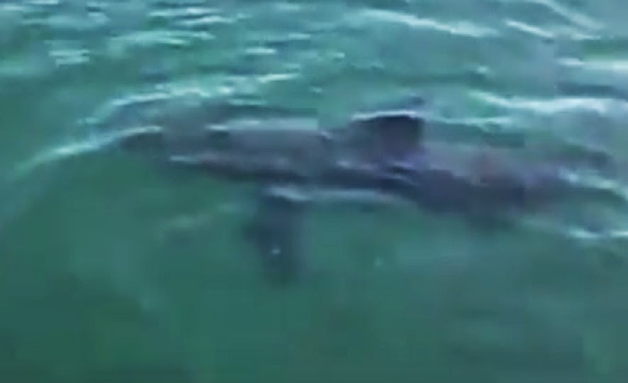 Basking shark identified as Great White off Cornwall England