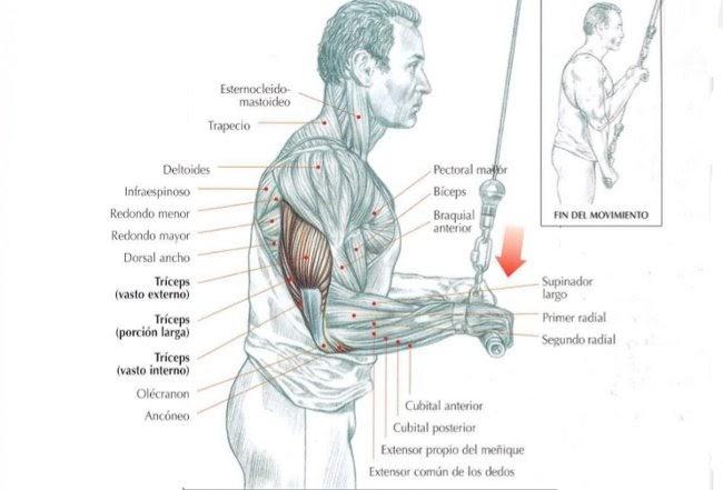 Ejercicios y Rutinas: Ejercicios y rutinas: Extensión de tríceps en ...