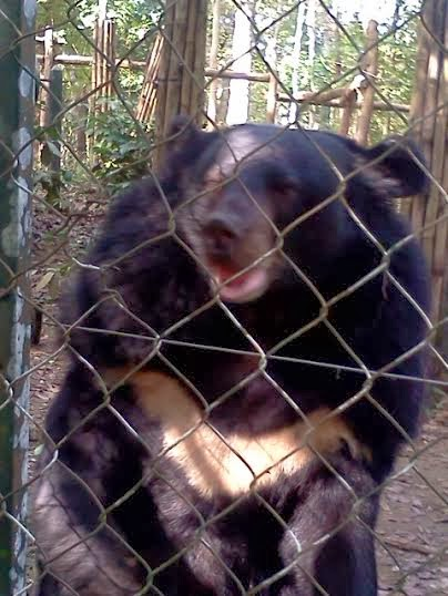 "Asiatic Black Bear with white ""V"" on it's chest."