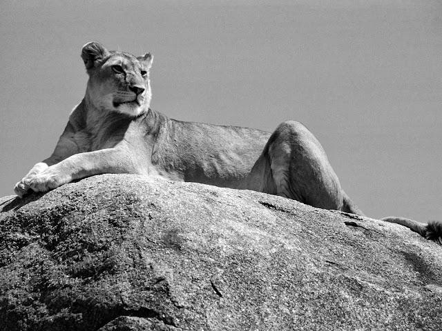львица сидит на камне