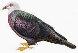 Yellow legged pigeon Columba pallidiceps