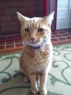 Orange Housecat