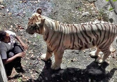 tigre-blanco-devora-hombre