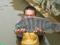 Manfaat Ikan Nila Serta Kandungan Nutrisi Didalamnya
