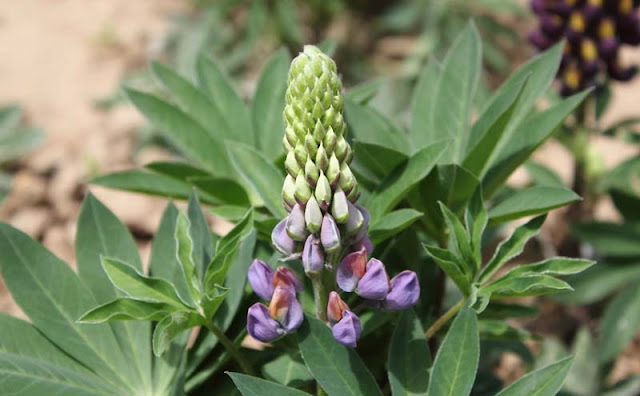 Lupine Flowers Pictures